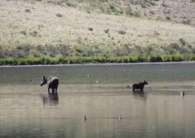 Moose2